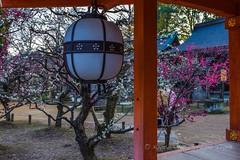 Plum Blossoms at Kitano Tenman-gū (北野天満宮) in Kyoto! (KyotoDreamTrips) Tags: baikasai japan kitanotenmangū kyoto michizane plumblossoms ume matsuri 北野天満宮 梅 梅花祭