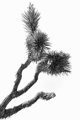 Dr. Seuss Will See You Now (Cory Hansen) Tags: california blackandwhite tree nature outside nationalpark joshuatree monotone joshuatreenationalpark