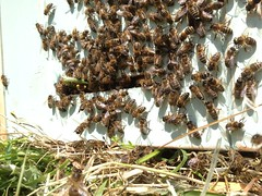 A swarm  just moved into a bait hive