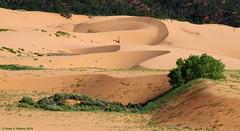 Coral Pink Sand Dunes (walkerross42) Tags: statepark utah desert sanddune coralpinksanddunes