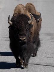 Bison on Road (Garen M.) Tags: mountain beautiful animals america river landscape waterfall nationalpark montana stream yellowstone wyoming day3 bison olympusomdem1 zuikopro40150mm zuikox14teleconverter