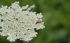 1-DSC_2688 (XBunnyLebowski) Tags: wasp buh bee