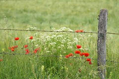 Oublier les barrières **---+°°° (Titole) Tags: fence barbedwire rusted poppies wildflowers field nicolefaton titole friendlychallenges unanimouswinner thechallengefactory herowinner 15challengeswinner challengeyouwinner