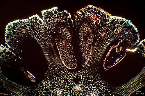 Equistetum sp. sporangiophore