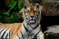 Siberische tijger - Panthera tigris altaica -  Siberian Tiger (MrTDiddy) Tags: male cat mammal zoo big kat feline tiger bigcat antwerp siberian tijger tigris antwerpen zooantwerpen amur grote panthera mannelijk altaica zoogdier amoer grotekat siberische kharlan bigct