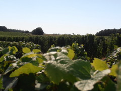 "Levin Vines - Plantes de Bon Vin Vineyard • <a style=""font-size:0.8em;"" href=""http://www.flickr.com/photos/133405556@N08/19457995593/"" target=""_blank"">View on Flickr</a>"