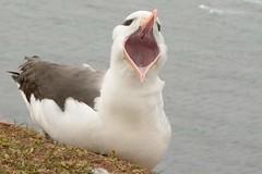 DSC_9536Wenkbrauwalbatros : Albatros a sourcils noirs : Diomedea melanophris : Schwarzbrauen-Albatros : Black-browed Albatross