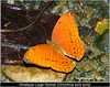 Large Yeoman (Wandering_one) Tags: macro closeup butterflies insects yeoman fz50 nymphalidae insectindia kalluri butterfliesofindia butterfliesofnortheastindia lepidopreta