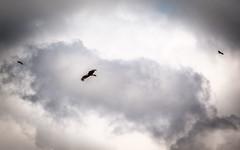 Bird of prey (afrigole) Tags: storm bird nature clouds danger dark eagle fear girona prey birdofprey