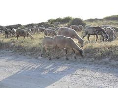 CIMG0255 (haruka1988) Tags: sheep croatia kap kamenjak istrian