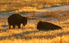 Bison (Circled Thrice) Tags: bison buffalo animal mammal outdoors outdoor outside meadow grasses rockymountainarsenal nationalwildliferefuge wildliferefuge refuge wild wildlife nature natural aurora denver commercecity colorado co canon eos rebel t5i sigma