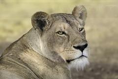 Leona (Lioness) - Ngorongoro CA - Tanzania (Gaston Maqueda) Tags: lion leon leona lioness cats felinos mamiferos mammals wildlife fauna africa tanzania safari ngorongoro animales animals