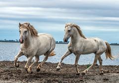2016 Two Camargue Stallions (8) (maskirovka77) Tags: saintlaurentdaigouze languedocroussillonmidipyrén france languedocroussillonmidipyrénées fr stallion stallions whitehorse whitehorses whitestallion whitestallions createaway photoworkshop