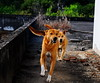 ,, This is a Challenge ,, (Jon in Thailand) Tags: rocky mama roof jungle nikon d300 nikkor 175528 tails soxs smile eyes paws motherson running dog dogs k9 k9s happydogs ears nose browndogs nofavs littledoglaughedstories