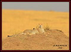 FEMALE CHEETAH WITH HER CUBS (Acinonyx jubatus).....MASAI MARA....SEPT 2015. (M Z Malik) Tags: nikon d800e 400mmf28gedvr kenya africa safari wildlife masaimara kws exoticafricanwildlife exoticafricancats flickrbigcats cheetah