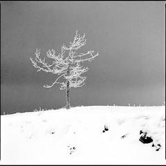 Tree-JPN-study-001 (OverdeaR [donkey's talking monkey's nodding]) Tags: bronicasqa bronica zenza zenzanon 15035 delta 400 800ei d76 nocturnal night tree study mediumformat square 120 6x6 jpn divčibare snow