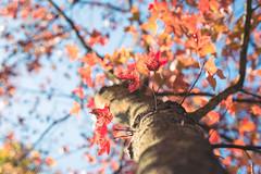 Dying Leaves (matthew_image) Tags: autumn fall leaves leaf red orange lightroom canon 6d 70200 vc usd tamron 28 f28 tree trees sky blue bokeh bokehlicious hk hong kong hongkong hongkonger