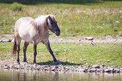 Tarpan (Cloudtail the Snow Leopard) Tags: pferd wildpark parc animalier sainte croix tier animal mammal säugetier tarpan european wild horse equus ferus