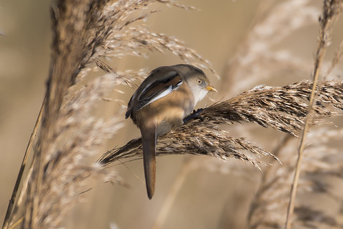(023) Bird - Bearded Tit (Reedling) - Oulton Marshes