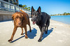 IMG_1952 (megscapturedtreasures) Tags: ammo sun sunset dog beach dogs ruff days daycare
