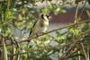 Chardonneret élégant au jardin - Hiver 2016 (Véronique Delaux On/Off) Tags: chardonneret hiver hérault oiseau jardin chardonneretélégant