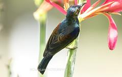 Male BROWN-THROATED SUNBIRD (@ChangLam PHOTOGRAPHY) Tags: changlamphotography photographychanglamphotographymalaysia bird passeriformes passerinebird sunbird brownthroatedsunbird male malebird malesunbird