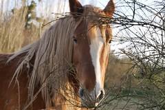 Beauté animale (moniquefouchereau) Tags: chevaux nature