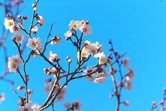 今日の写真~梅「あけぼの」 (Matryokeshi) Tags: japan todayintokyo ume plumblossoms flowerlovers tokyo winter 2017 akebono あけぼの 梅 東京 日本 япония токио слива цветы сегоднявтокио зима2017 январь фото