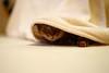 You can't see me... (DizzieMizzieLizzie) Tags: abyssinian aby beautiful wonderful lizzie dizziemizzielizzie portrait a7ii cat chats feline gato gatto katt katze katzen kot meow mirrorless pisica sony