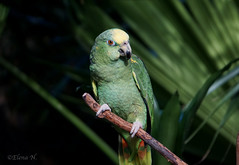 Amazon Parrot (Animathika) Tags: parrot amazonparrot bird fly colors tropical sony mirrorless sonya6300 loro ave