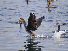 Phalacrocorax carbo /Cormorano / cormorant (Alvaro Colombo) Tags: fantasticnature nationalgeographicwildlife