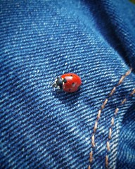 IMG_20160715_184819 (PetitLutin) Tags: insecte coccinelle