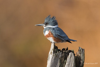 The year of the Belted Kingfisher?