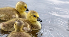 Water drop (Paula Darwinkel) Tags: canadian goose geese goslings ducks nature animal wildlife cute baby youngster