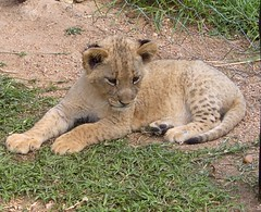 Baby Lion Cub !