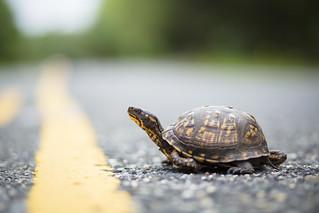 Eastern box turtle [on road]