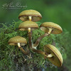Funeral Bells fungi (Bill Power Photography) Tags: nature bells woodland photography dangerous fungi toadstool poison d810 billpower posonous tuneral