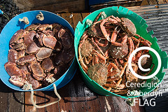 Two buckets of crab on board the 'Quaker' boat / Dau fwced o grancod ar gwch y 'Quaker' (Ceredigion Fisheries Local Action Group (FLAG)) Tags: uk wales boat town fishing crab aberystwyth lobster welsh cardiganbay seafish inshorefishing johngorman