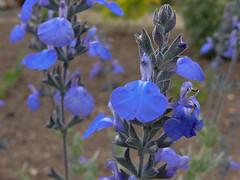 Salvia chamaedryoides (entireleaves) Tags: mayflowers 837sanluisave