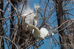 Adult Snowy Egrets feed their young