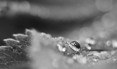 ant man (Froschknig Photos) Tags: bw man film me water hat 35mm movie drops wasser bokeh ant h2o hut sw flektogon 24 ich spiegelung tropfen selfie frauenmantel michau antman a6000 a6k froschknigphotos sonyalpha6000 ilce6000