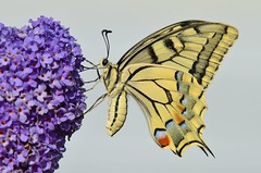 Butterfly (sylvette.T) Tags: nature butterfly swallowtail 2015 machaon nikond5100 objectifsigma70200