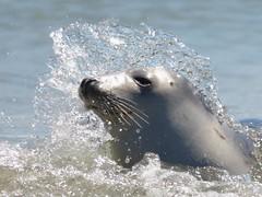 grijze zeehond of kegelrob, Halichoerus grypus, gray seal, Kegelrobbe, phoque gris