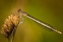 White-legged Damselfly  (eddie_austrums) Tags: damselfly whiteleggeddamselfly platycnemispennipes