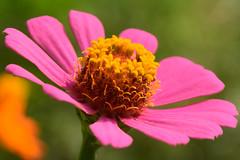 20150730_031_3 (まさちゃん) Tags: 花 雄蕊 雄しべ 雌蕊 ピンクの花 雌しべ