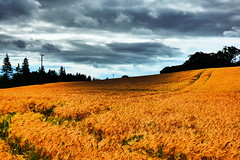 Barley (Tobymeg) Tags: trees sky cloud barley grey golden scotland farming crop holywood