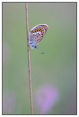 Het heideblauwtje - vrouw  (Plebejus argus, voorheen geschreven als Plebeius argus) (Martha de Jong-Lantink) Tags: vlinders vlinder 2015 plebejusargus strijbeekseheide heideblauwtje vlinderreizen heideblauwtjevrouwtje judithborremans vlinderexcursie