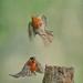 Robin departing pursued by Bullfinch.