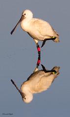 Colhereiro (Platalea leucorodia) (Fernando Delgado) Tags: reflexion reflexo espelho mirror platalealeucorodia eurasianspoonbill commonspoonbill aves birds riaformosa parquenaturaldariaformosa morninglight luzmatinal