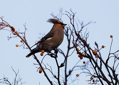 Waxwing (little mester.) Tags: waxwing sheffield berries wintermigrant irruption greenhill